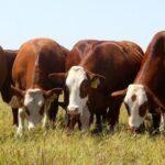 Fidel Sánchez Alayo: ¿Qué tomar en cuenta si eres ganadero bovino?